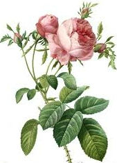 OEM/ODM essential bulgarian rose oil, natural and pure, absolute essential oil, wholesale