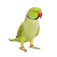Young, adult yellow live bird rose-ringed parakeet for sale