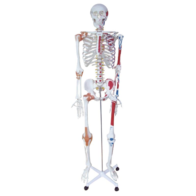 180cm Human skeleton <strong>model</strong> Human full body skeleton <strong>model</strong> Medical human bone <strong>model</strong>