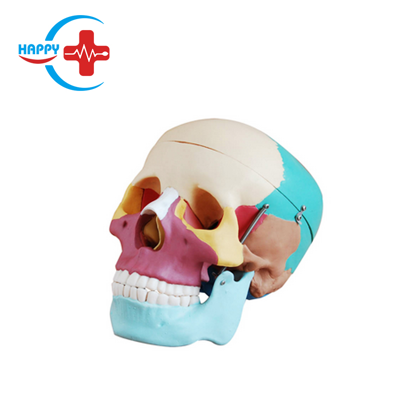 HC-S206 Artificial life-size human skull coloring <strong>model</strong> for medical school teaching