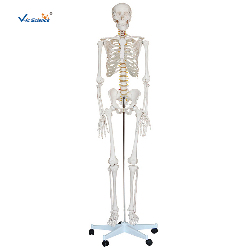 Life-Size Skeleton 180cm Tall Human Skeleton <strong>model</strong> 180cm