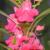 Wholesale Top quality Garden impatiens Rose Balsam flower seeds