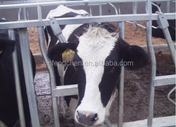 Cattle feeder head lock