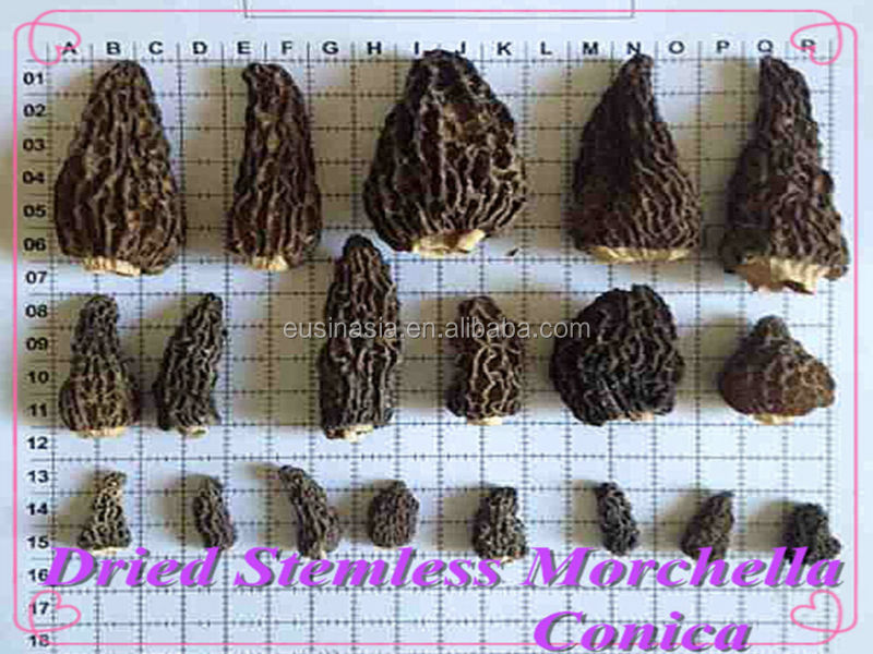 morchella conica with stem 2cm