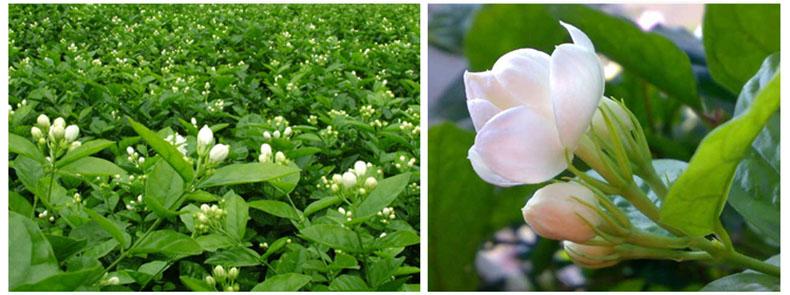 Premium jasmine silver needle tea view jasmine flower tea jszy premium jasmine silver needle tea mightylinksfo