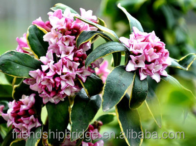 Fragrant Flowering Tree Winter Daphne Daphne Odora Plants