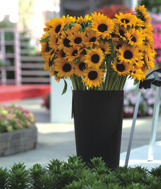 Gardening Ornamental Flower Seeds Sunflower seeds for growing