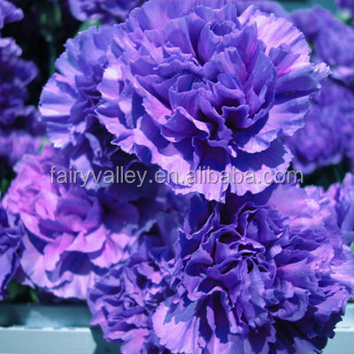 Flower Seeds Single Mixed Double Carnation Seeds Dianthus caryophyllus seeds for Growing