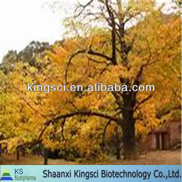 High quality of natural flavonoids ginkgo biloba extract