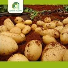 Hot selling holland 7 potato with high quality
