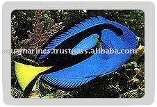 Blue Palette Tang fish Wholesale Tropical Fish