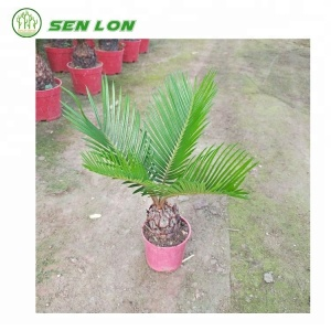Wholesale Cycas Revoluta