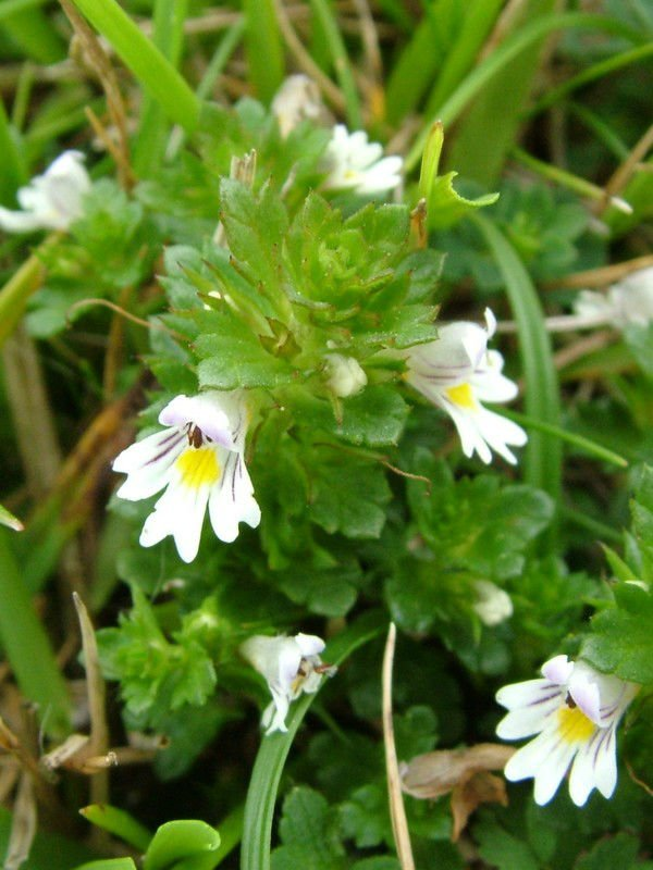 eyebright extract standard plant extract