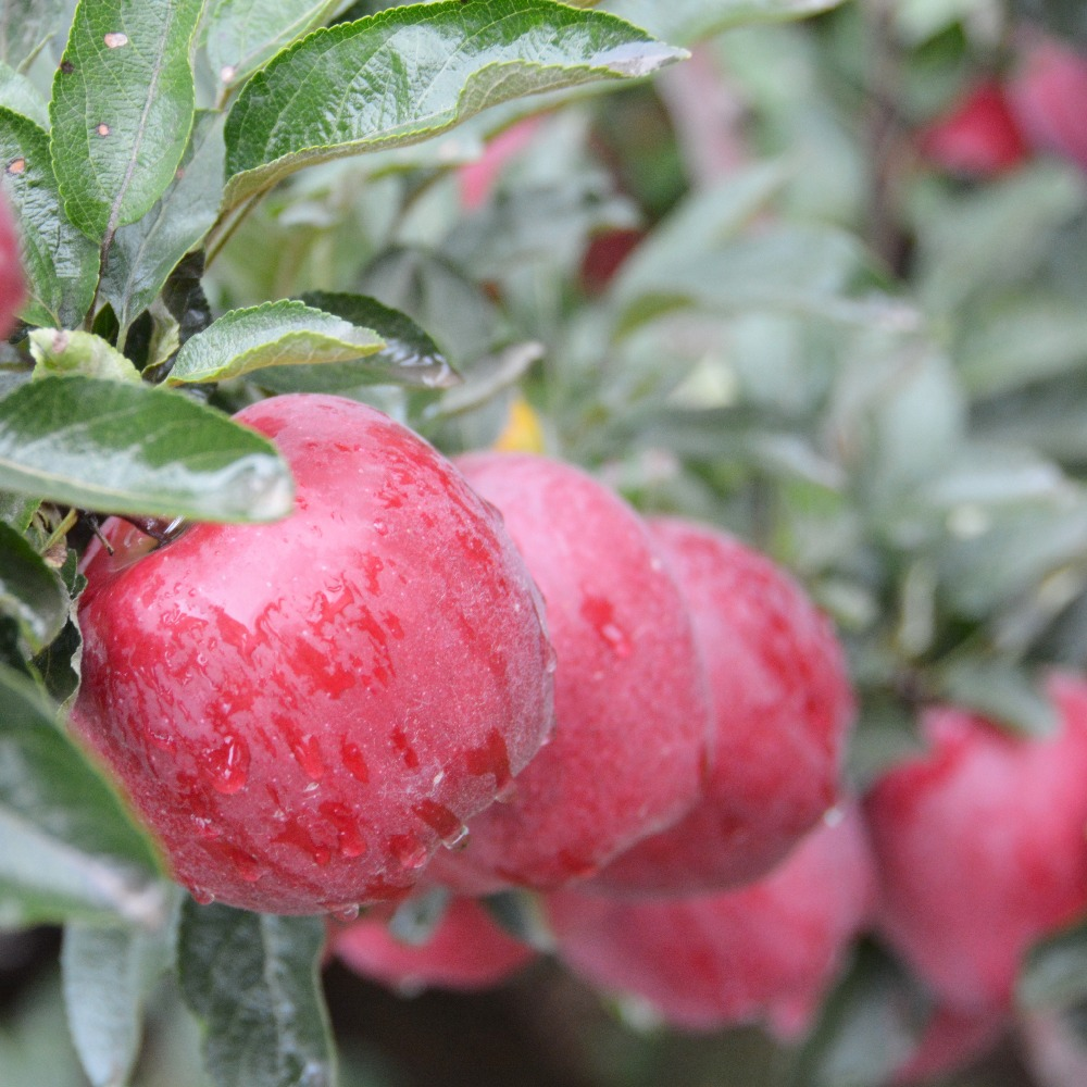 Fuji Variety and Pome Fruit Product Type Fresh HuaNiu apples FRUIT