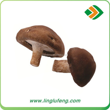 Natural and Green Dried Smooth Lentinus Edode For Dumpling Restaurant