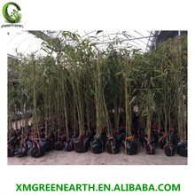 2 years old moso bamboo plants phyllostachys pubescens