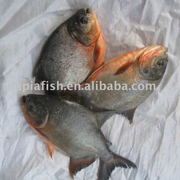 Frozen black pomfret+red pomfret for sale