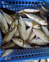 Indian mackerel wholesale alibaba seafood