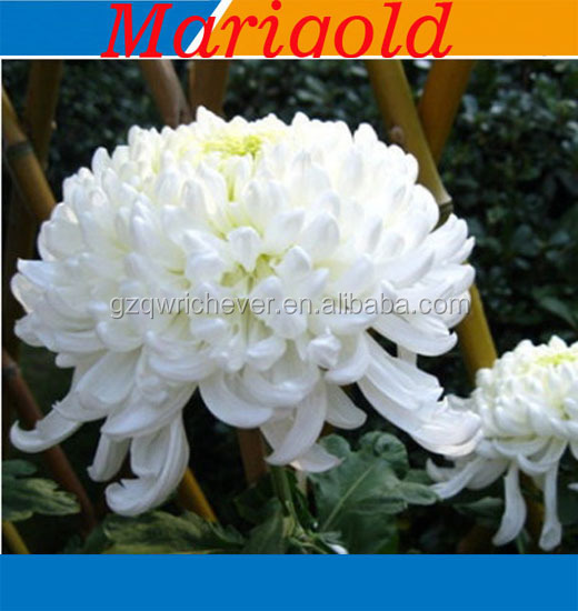 Snow white marigold flower seeds buy snow white marigold flower snow white marigold flower seeds buy snow white marigold flower seedsf1 hybrid vegetable seedsf1 hybrid seeds product on alibaba mightylinksfo