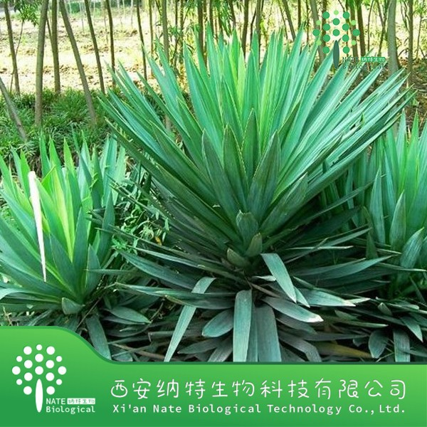 high quality yucca extract powder/pangasinan root extract/saponin 40% by UV