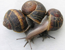 GIANT SNAILS,Brown garden and sea snail (Helix aspersa) Edible snail Giant African land snail Helicaron snails