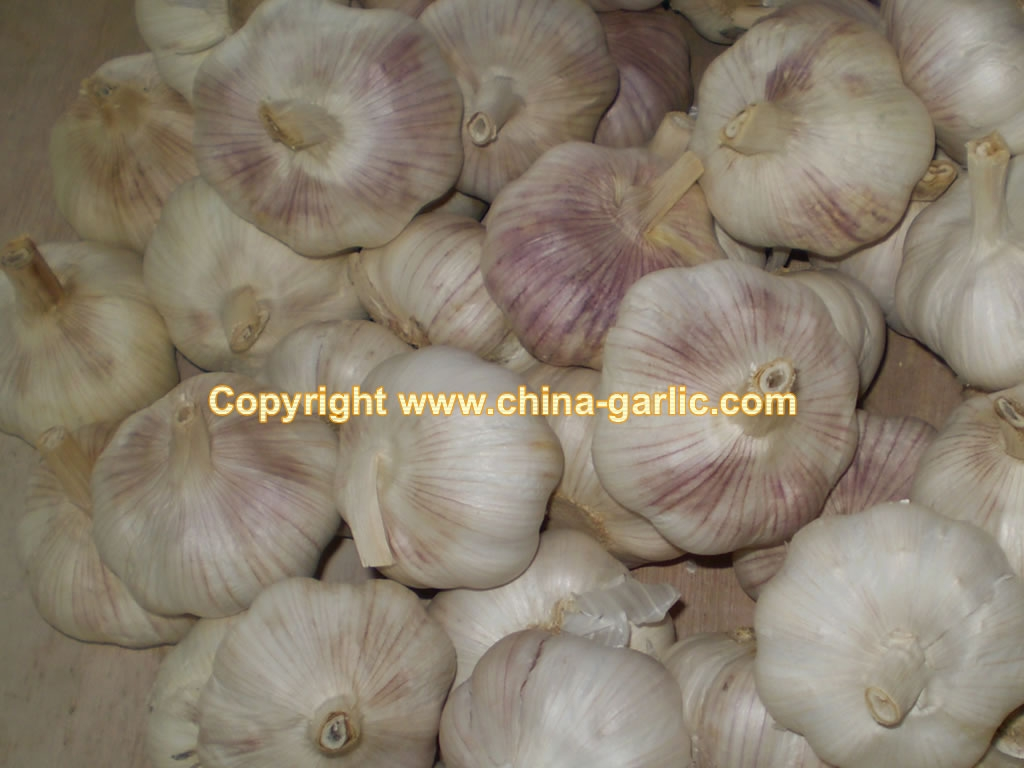 elephant garlic -- Export to Brazil