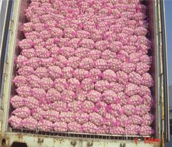Brand new wholesale garlic with best price china garlic price garlic planting machine