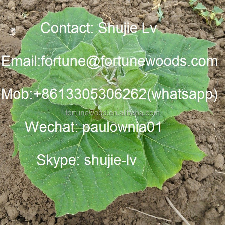 Cold resistant paulownia 9501 tree root for planting