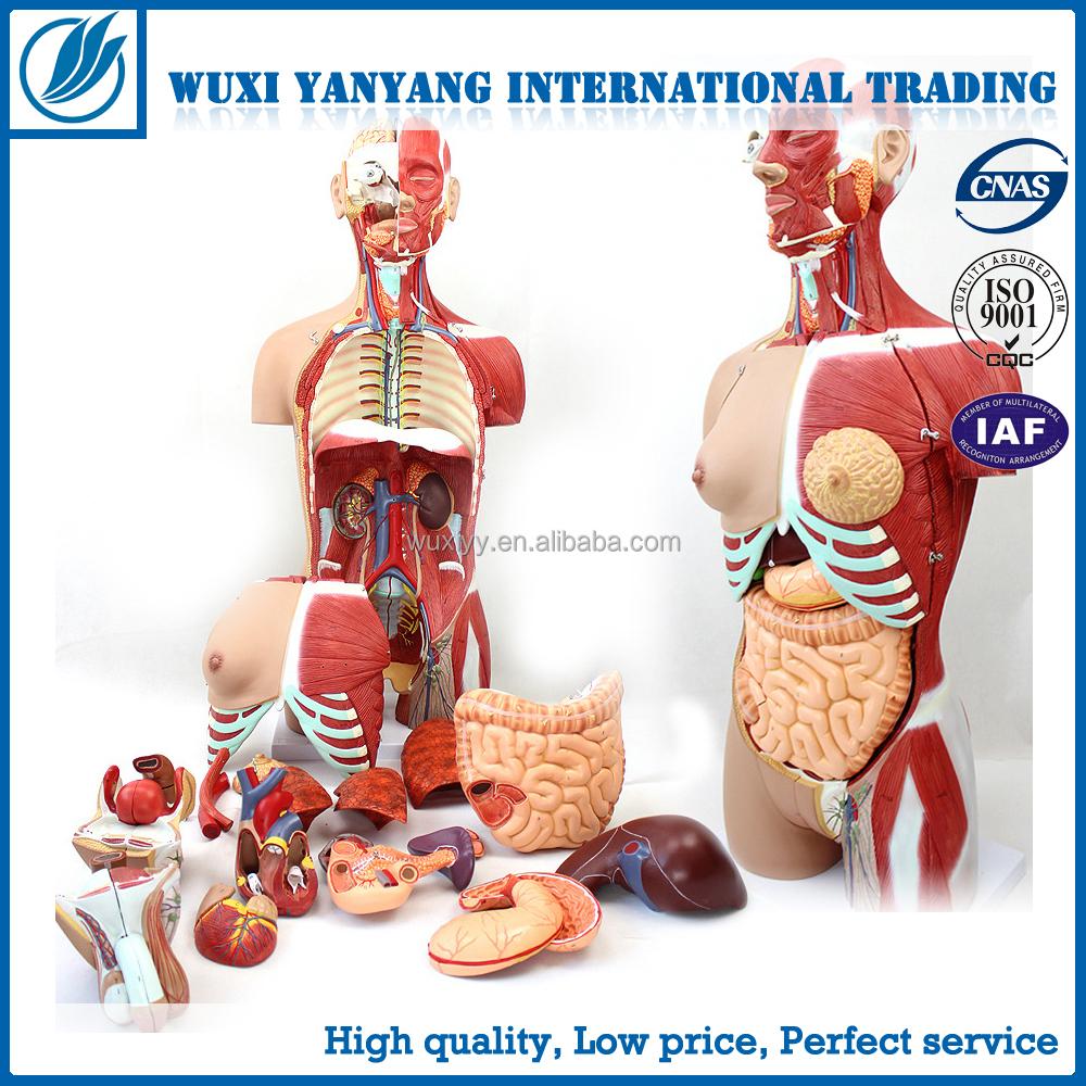 Wholesale model human body - Online Buy Best model human body from ...