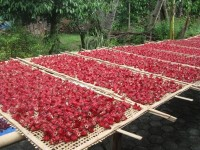 DRIED ROSELLE (40.000 herbs plants grow in Indonesia)