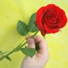 Wholesale Carola Roses Same Quality As Holland Roses For Wedding Decoration