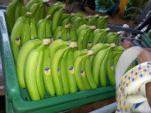 BANANAS from Ecuador - fresh fruit