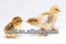 Improve poultry immunity, prevention and treatment of avian flu the best medicine