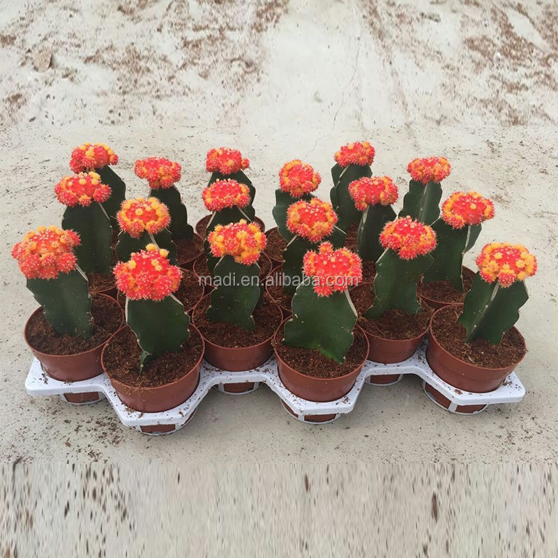 mini colorful cactus nursery for decoration