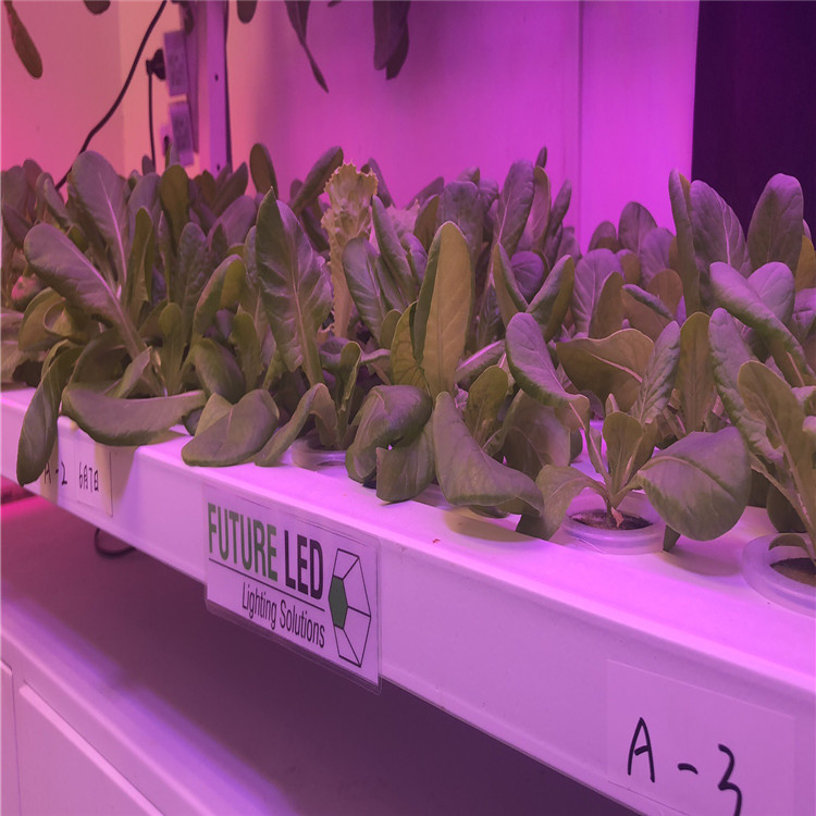 led grow light for lettuce.jpg
