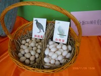 Chinese francolin eggs(Table&Hatching)
