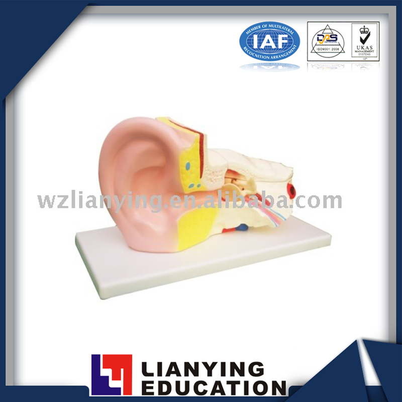 Ear Anatomic Medical Model