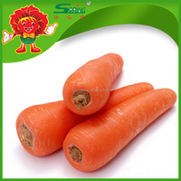 Hot selling fresh vegetables specifications of fresh carrots