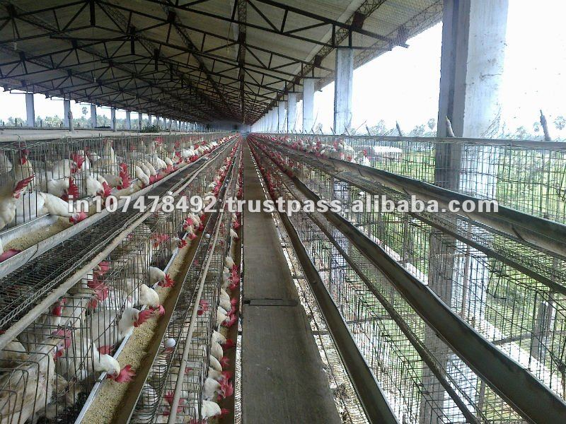 white shell eggs for exports