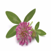 Red Clover P.E.Isoflavones 8% 20% 40%HPLC