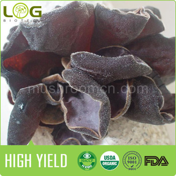 400 to 600 gram high yield flat black fungus mushroom log