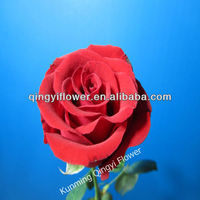 Fresh cut flowers red color rose wholesale