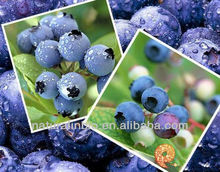 Organic Blueberry P.E. for Food Additive