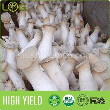 high yileld harvest 400gram in 20 days king oyster eryngii mushroom spores