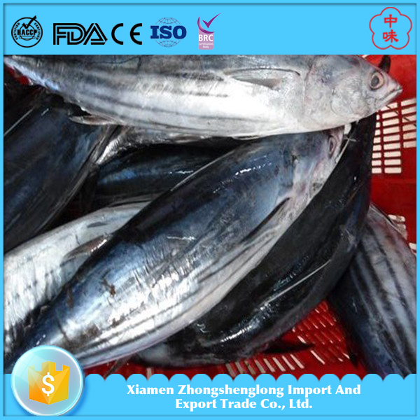 New Catching Whole Round Frozen Belted Bonito Tuna Oriental Bonito On Sales Cheap