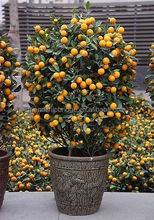 Vivo Citrus bonsai <span class=keywords><strong>árbol</strong></span> venta