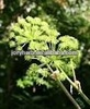 Angelica Root Extract