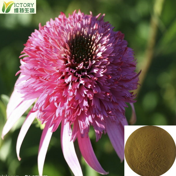 natural high quality Polyphenols echinacea angustifolia extract