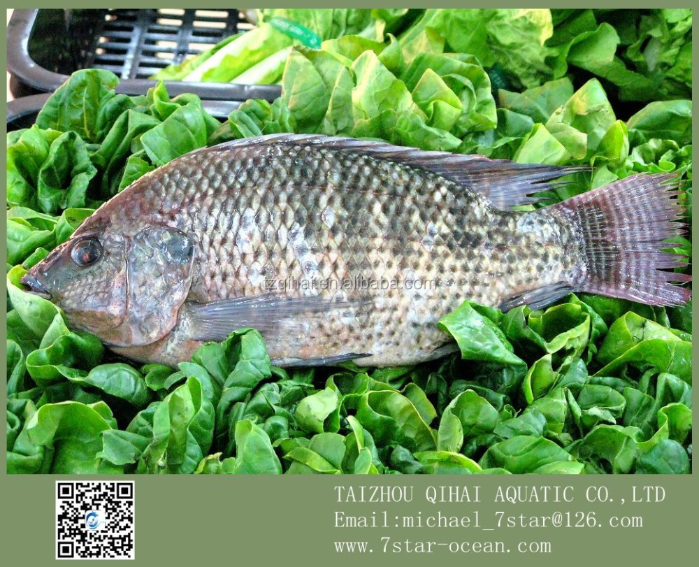 Products To Sale Tropical Fish Live Freshwater Frozen Black Tilapia Tuna 10kg 500-800g/pc
