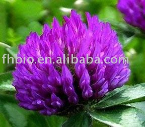 Red Clover Extract P.E